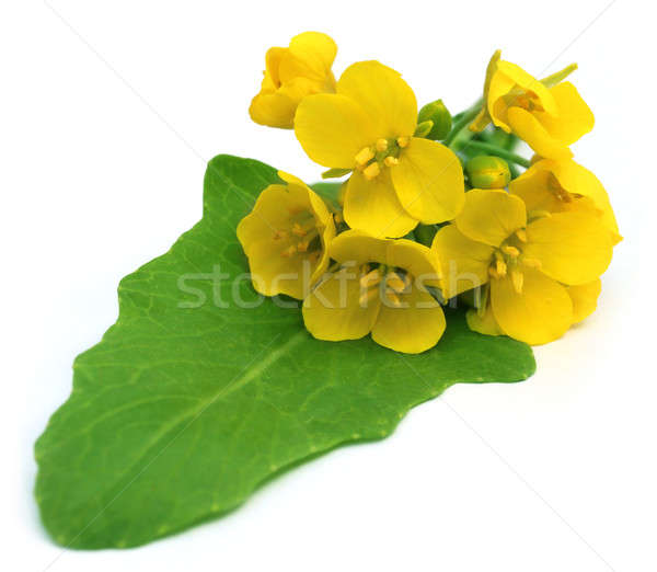 Bunch of edible mustard flowers Stock photo © bdspn
