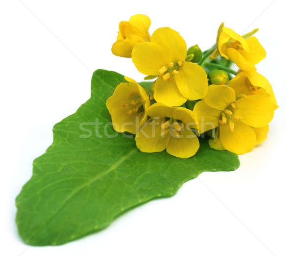 съедобный горчица цветы зеленый лист цветок Сток-фото © bdspn