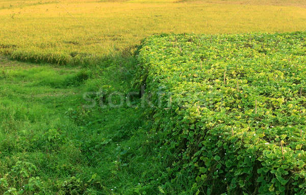 Green meadows and vegetable field Stock photo © bdspn