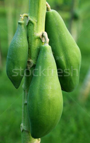 Green papaya in plant Stock photo © bdspn