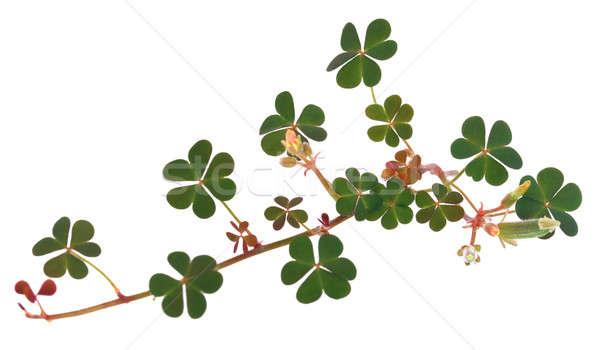 Clover leaf over white background Stock photo © bdspn