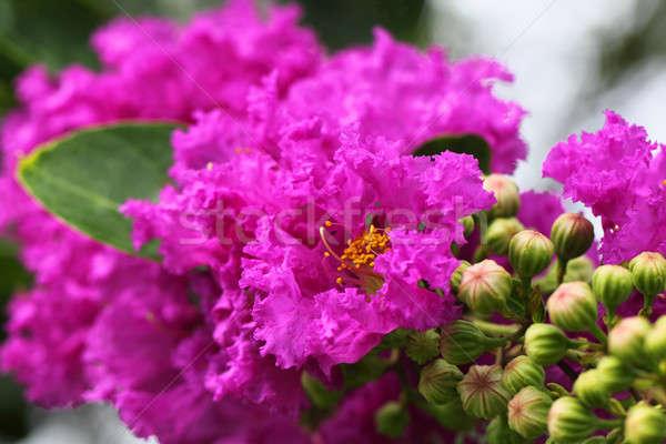 Lagerstroemia speciosa or jarul flower Stock photo © bdspn
