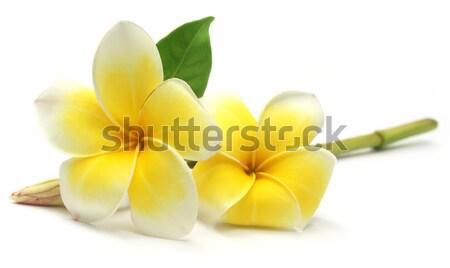 Plant witte mooie vers heldere bloesem Stockfoto © bdspn