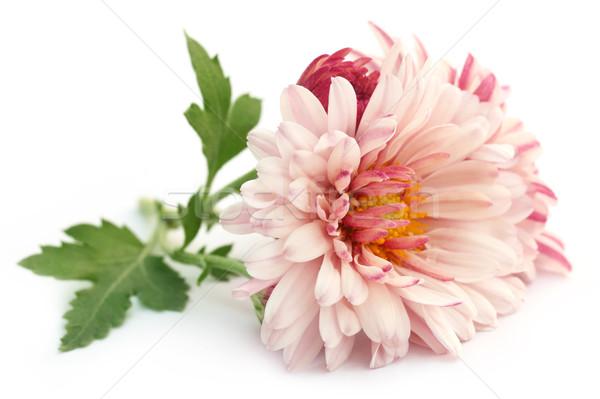 Chryzantema biały kwiat liści lata czerwony Zdjęcia stock © bdspn