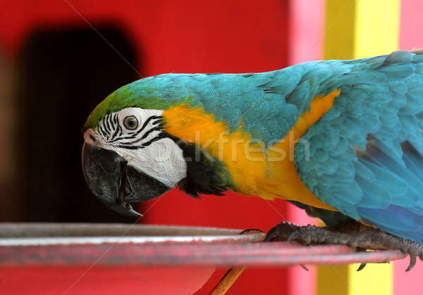 Blue and yellow macaw bird Stock photo © bdspn