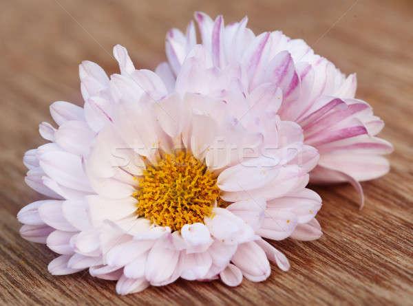 Chrysantheme zwei Holz Oberfläche Blume Blatt Stock foto © bdspn