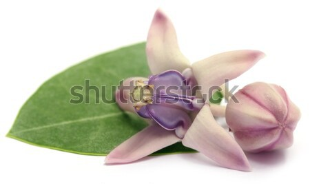 Medicinal Crown flower  Stock photo © bdspn