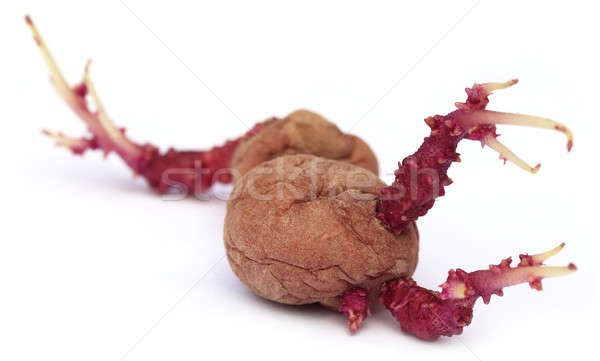 Closeup of potato germinating Stock photo © bdspn