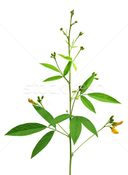Medicinal Pigeon pea leaves and flower Stock photo © bdspn