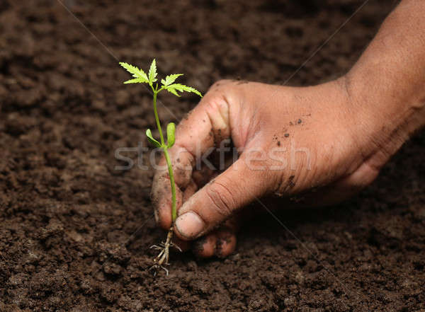 Planting neem plant Stock photo © bdspn