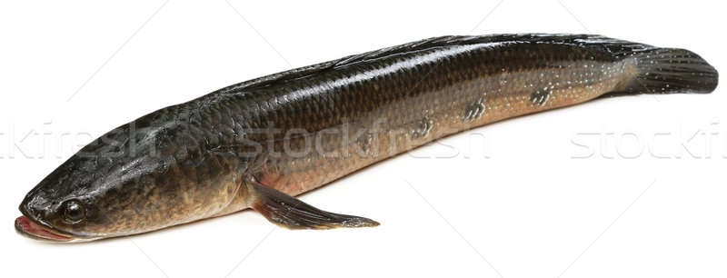 Giant Snakehead known as gozar fish in Bangladesh Stock photo © bdspn