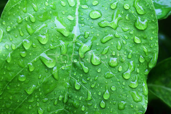 Water drop on a green leaf Stock photo © bdspn
