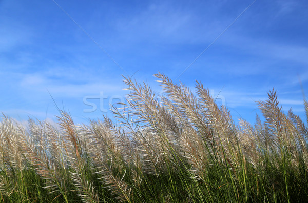 Kans grass locally known as the Kash flower in Bangladesh Stock photo © bdspn