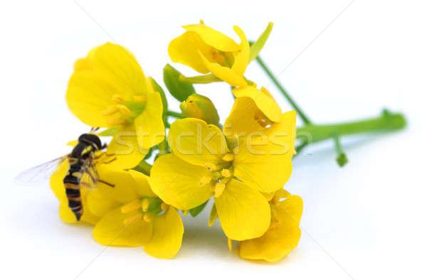 Mustard flowers Stock photo © bdspn