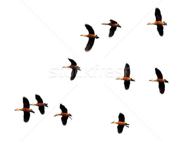 Flight of migratory birds  Stock photo © bdspn