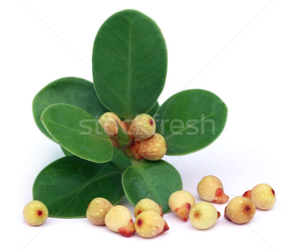 Banyan Fruits with leaves Stock photo © bdspn