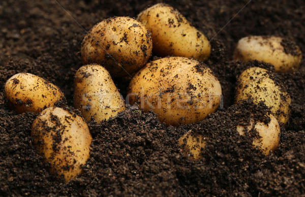 Nouvellement pommes de terre sol jardin domaine ferme Photo stock © bdspn