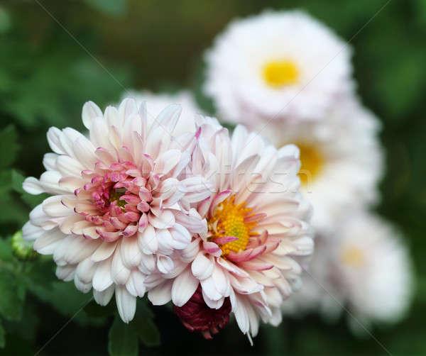 Crisantemo naturaleza flor hoja verano rojo Foto stock © bdspn