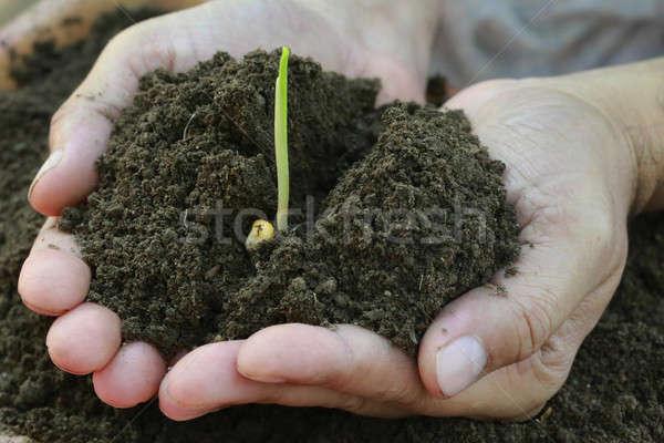 кукурузы саженцы стороны полный почвы Сток-фото © bdspn