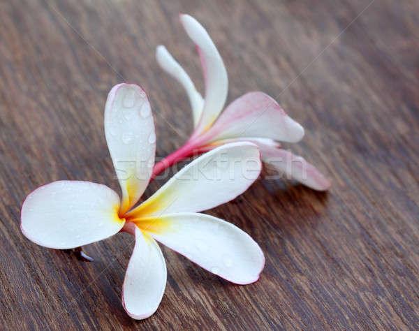 Tropical Frangipani Stock photo © bdspn
