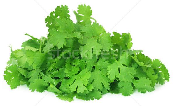 Frescos cilantro hojas blanco salud planta Foto stock © bdspn