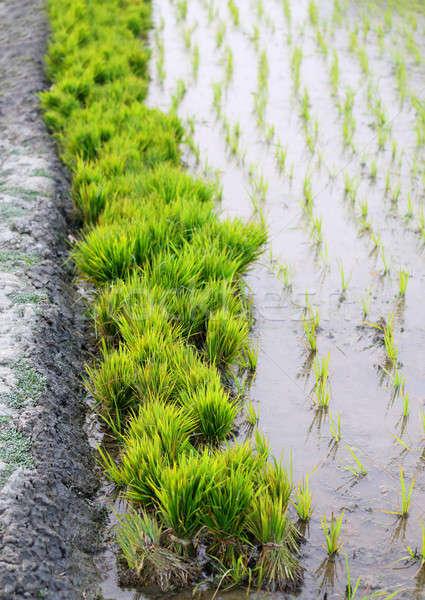 Bundle of rice seedlings in rural agriculture field Stock photo © bdspn