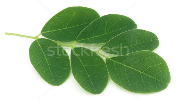 Moringa leaves  Stock photo © bdspn