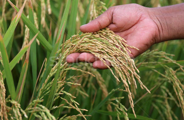 Paddy seeds holding by hand Stock photo © bdspn