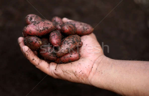 Newly harvested potatoes Stock photo © bdspn