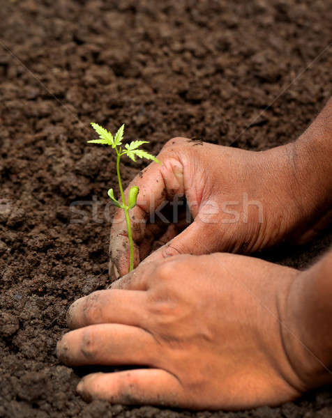 Planting neem plant Stock photo © bdspn