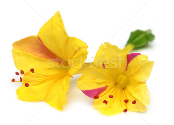 Sandhya moni flower of Southeast Asia Stock photo © bdspn