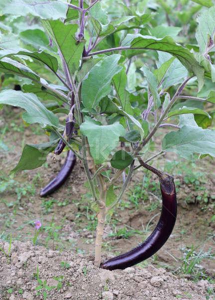Egg-plants in nature Stock photo © bdspn