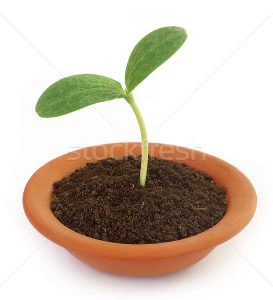 Citrouille semis argile pot blanche vert Photo stock © bdspn