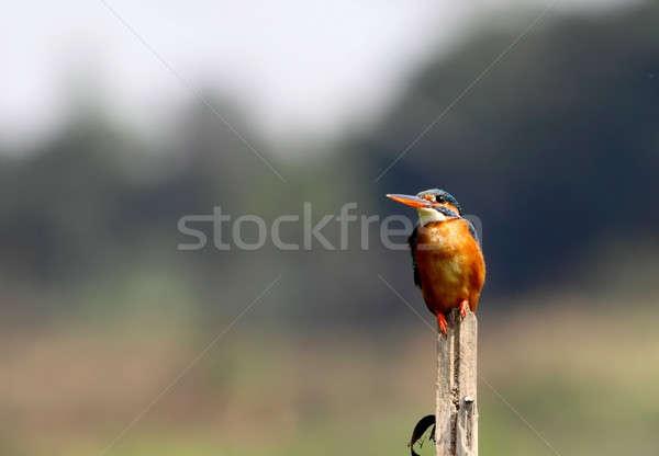 Wenig Eisvogel getrocknet Zweig Schönheit Sommer Stock foto © bdspn