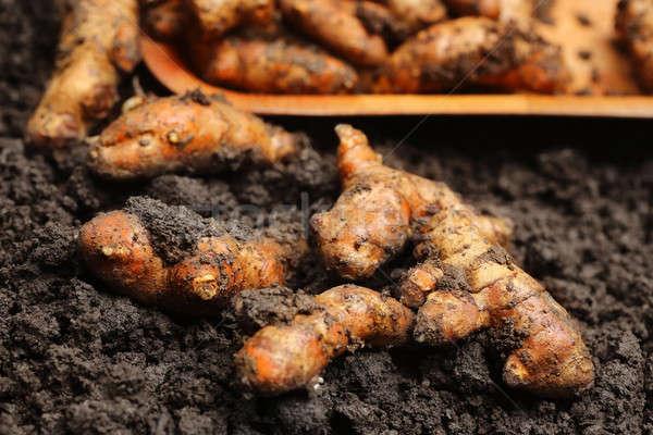 Newly harvested Turmeric Stock photo © bdspn