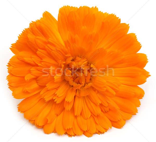 Closeup of calendula Stock photo © bdspn