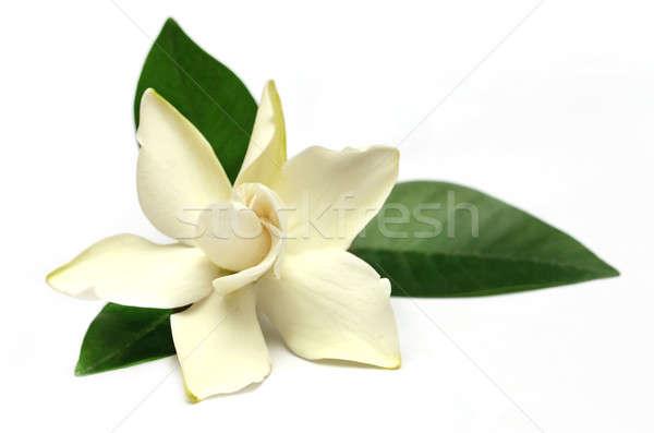 цветок южный Азии белый весны дизайна Сток-фото © bdspn