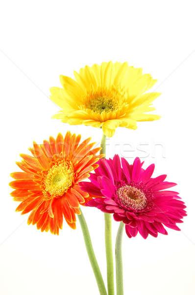 красочный Ромашки три изолированный белый фон Сток-фото © bedo
