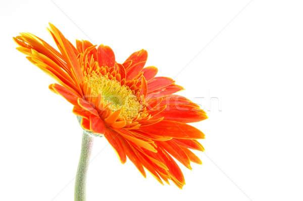 оранжевый Daisy изолированный белый фон красоту Сток-фото © bedo