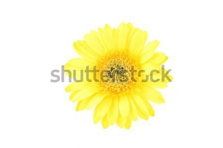 Stok fotoğraf: Sarı · papatya · yalıtılmış · beyaz · arka · plan