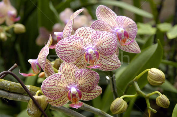 A cluster of orchids Stock photo © bedo