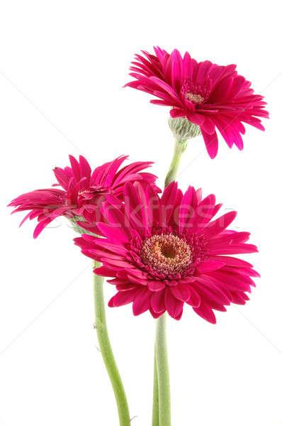 розовый Ромашки три изолированный белый фон Сток-фото © bedo