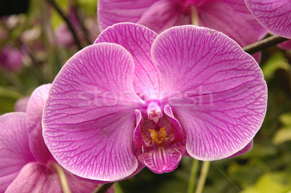 Purple орхидеи цветы весны природы Сток-фото © bedo