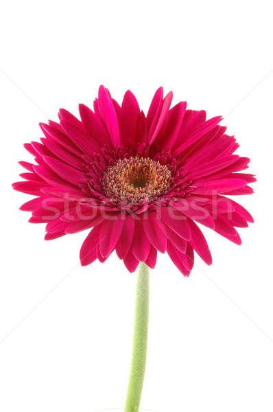 Rosa Daisy aislado blanco fondo belleza Foto stock © bedo