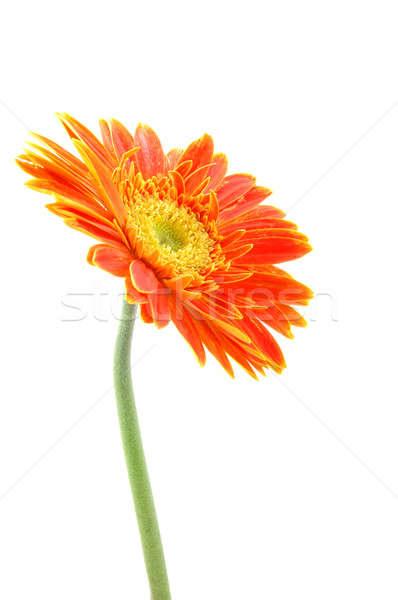 Orange gerber daisy Stock photo © bedo