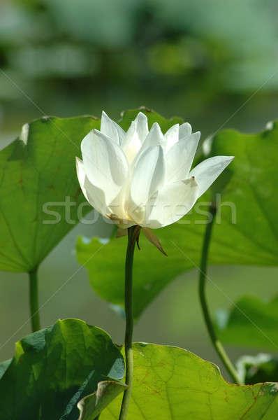 Лилия листьев цветок воды лист Сток-фото © bedo