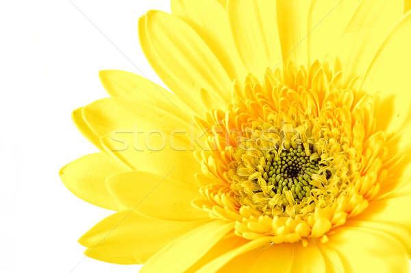 żółty Daisy odizolowany biały tle Zdjęcia stock © bedo