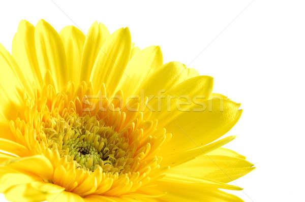 желтый Daisy изолированный белый фон Сток-фото © bedo