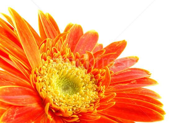 оранжевый Daisy изолированный белый фон Сток-фото © bedo