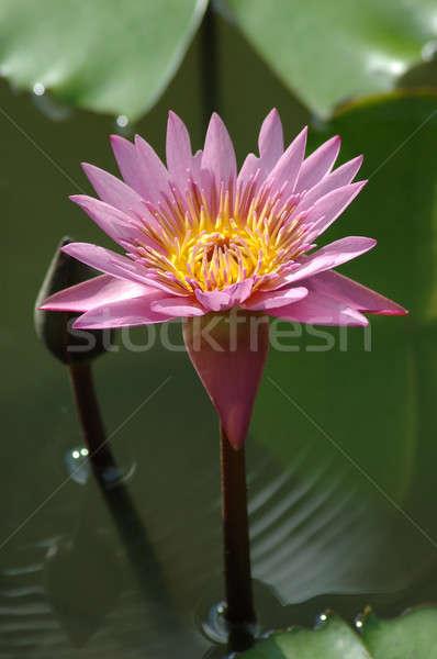 розовый Lotus пруд цветок воды лист Сток-фото © bedo